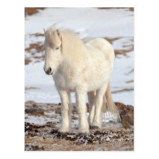 White Icelandic Horse Portrait Postcard