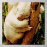 White Koala Bear Poster Print