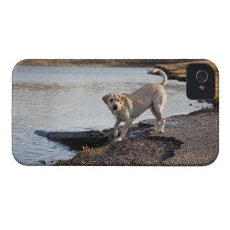 White Labrador near a lake iPhone 4 Case-Mate Case
