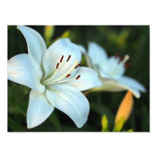 White Lily Flower Photo Art