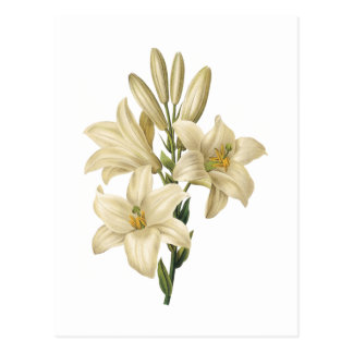 white lily(Lilium candidum) by Redouté Postcard