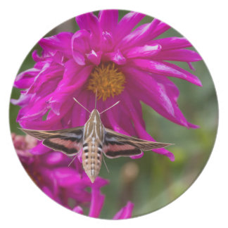 White-lined sphinx moth feeds on flower nectar 2 plate