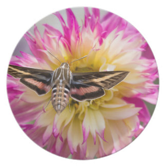 White-lined sphinx moth feeds on flower nectar party plates