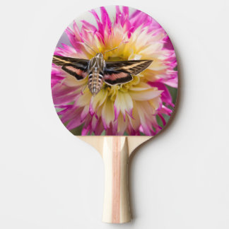 White-lined sphinx moth feeds on flower nectar ping pong paddle