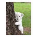 White lion cub hiding behind a tree. post card