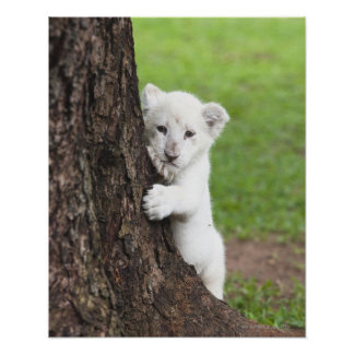 White lion cub hiding behind a tree. poster