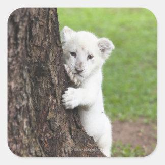 White lion cub hiding behind a tree. square sticker