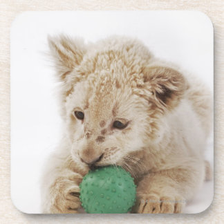 White lion cub (Panthera leo krugeri) playing Coaster
