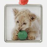 White lion cub (Panthera leo krugeri) playing Ornament