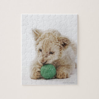 White lion cub (Panthera leo krugeri) playing Jigsaw Puzzle