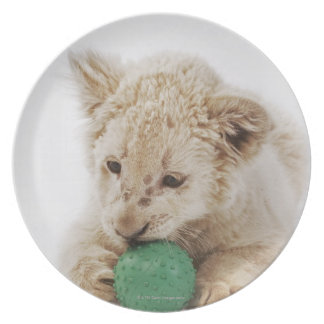 White lion cub (Panthera leo krugeri) playing Plate