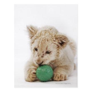 White lion cub (Panthera leo krugeri) playing Postcard