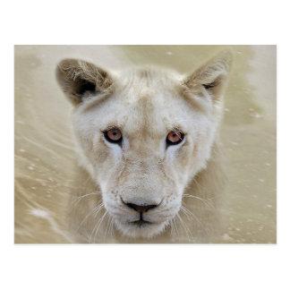 White Lion Spirit Warrior Africa Postcard