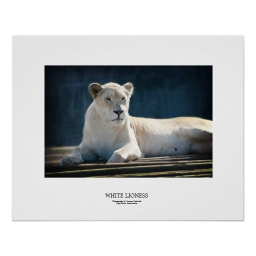 White Lioness Print