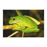 White Lipped Tree Frog Litoria Infrafrenata Canvas Print