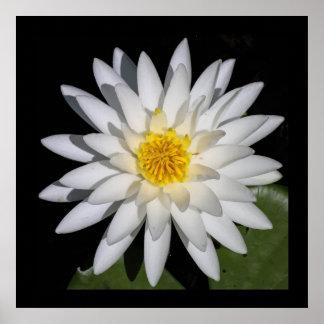 White Lotus Blossom Poster
