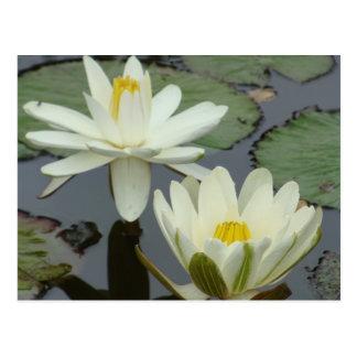 White Lotus Flower Post Card