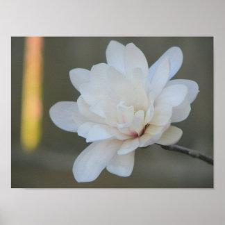White  Magnolia Centennial Bloom Poster