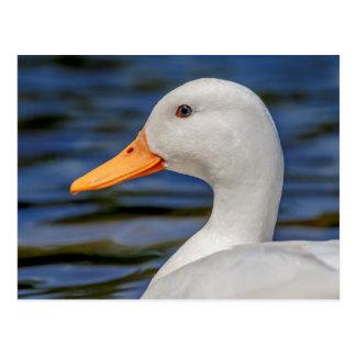 White Mallard Duck Postcard