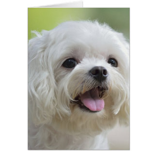 White Maltese Dog Card