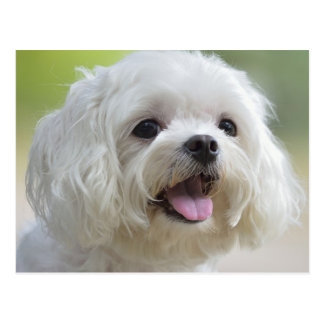 White Maltese Dog Postcard