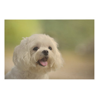 White maltese dog sticking out tongue wood wall art