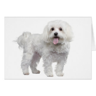 White Maltese Puppy Dog Blank  Notecard / Card