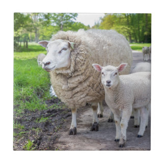 White mother sheep and lamb standing on road tile