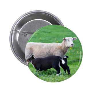 White mother sheep with two drinking black lambs 6 cm round badge