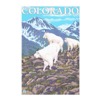White Mountain Goat FamilyColorado Gallery Wrapped Canvas