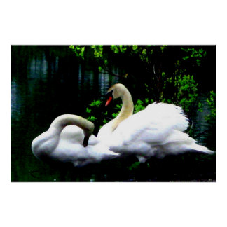 White Mute Swans Poster