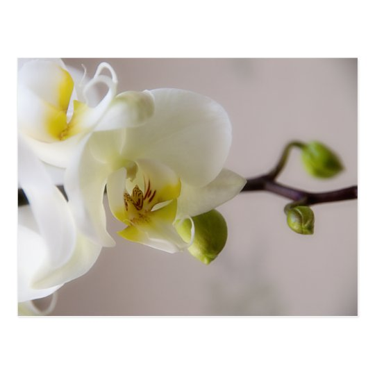 White Orchid • Postcard