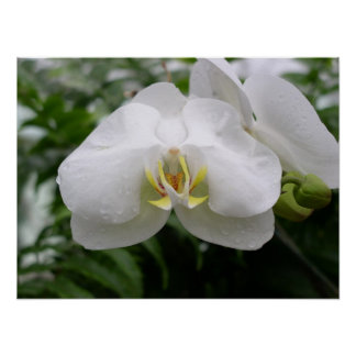 White orchid posters