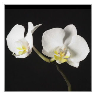 White Orchids Posters