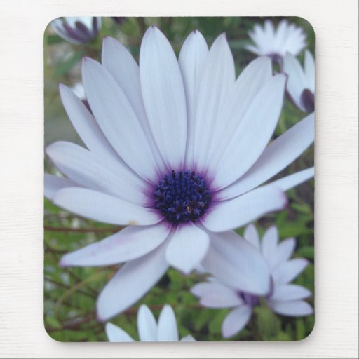 White Osteospermum Flower Daisy With Purple Hue Mousepad