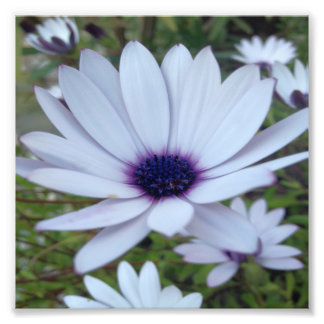 White Osteospermum Flower Daisy With Purple Hue Photograph