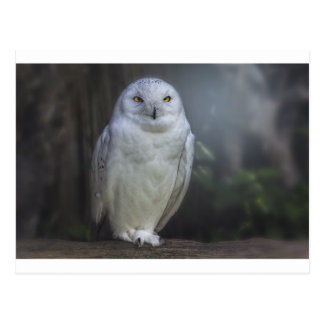 White Owl in Night Postcard