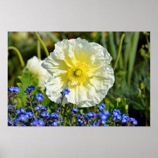 White  papaver flower poster