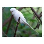 white parakeet postcard