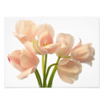 White & Peach Parrot Tulips Background Customised