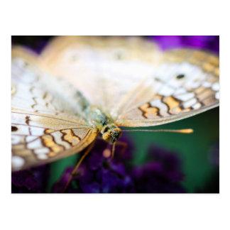 White Peacock Anartia Jatrophae Postcard