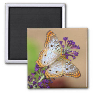 White Peacock butterfly on purple flower Square Magnet
