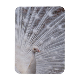 White Peacock Magnet