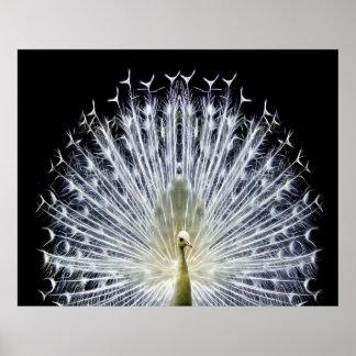 White Peacock Pavo Animalia Poster