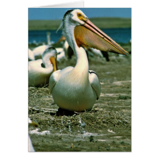 White Pelican Cards