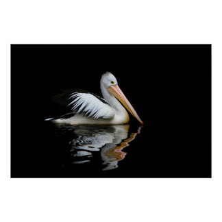 White pelican. poster