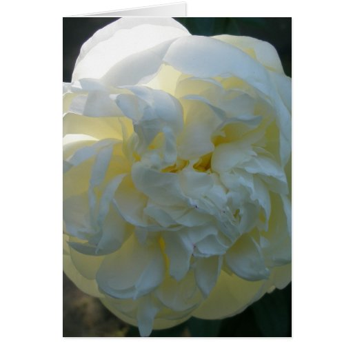 White Peony Note Card