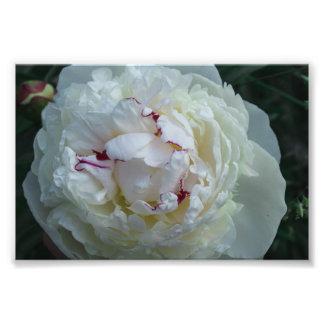 White peony with bordeaux edge photo print