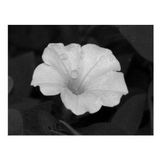 White Petunia Postcard