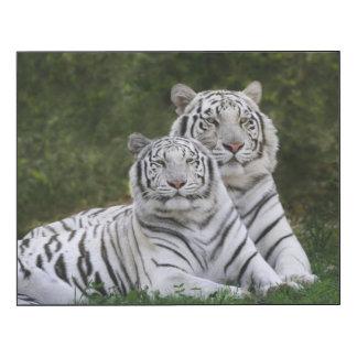 White phase, Bengal Tiger, Tigris